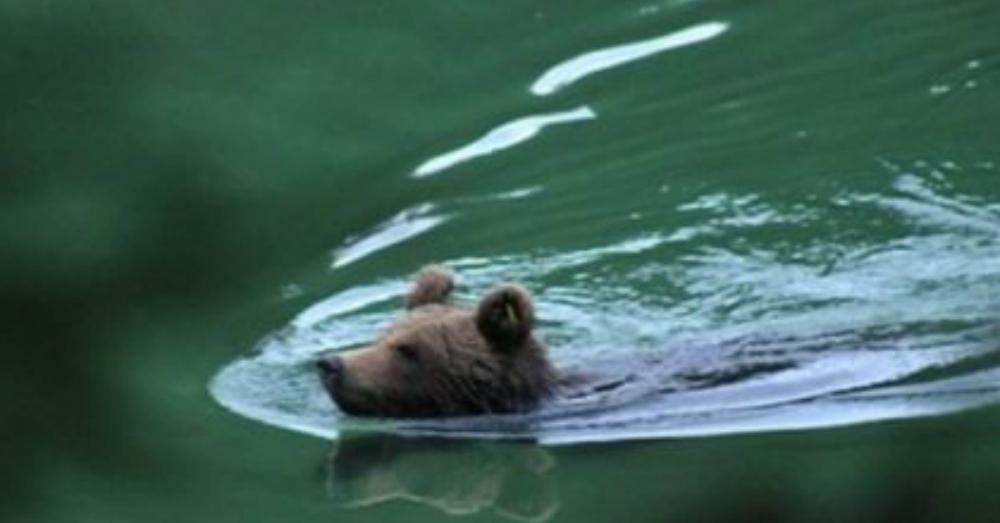 l 39 orso m11 fa il bagno nel lago di pr da stua
