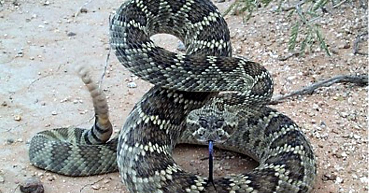 Serpenti a sonagli da napoli alla germania citt l 39 arena - Serpente collegare i punti ...