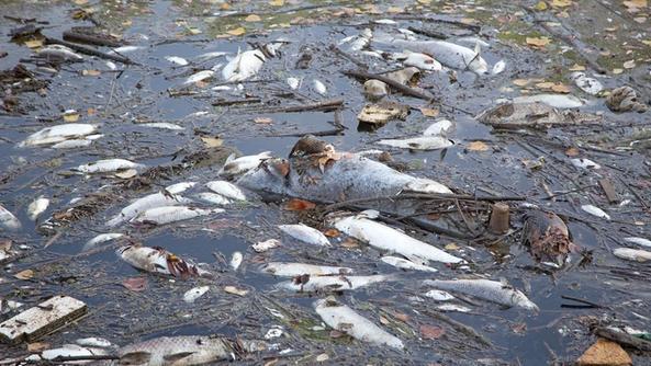 Avvelenati migliaia di pesci eccezionale moria nell alpone for Pesci di fiume