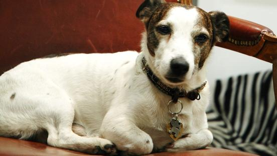 Un cane Jack Russell