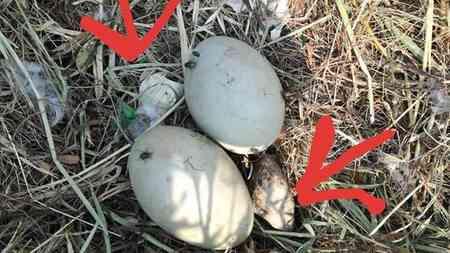 Le uova di cigno prese a sassate